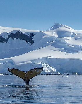 Whale tail_Antarctica.jpg