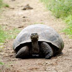#13 Galapgos Tortoise.jpg