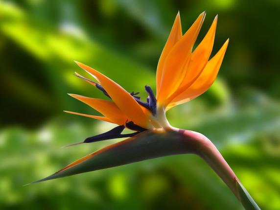 bird-of-paradise-flower-bloom-blossom-60