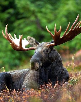 moose-70254_1920.jpg