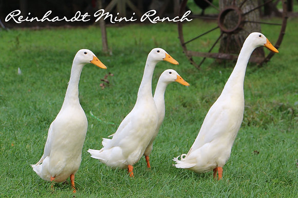White Indian Runner Duck