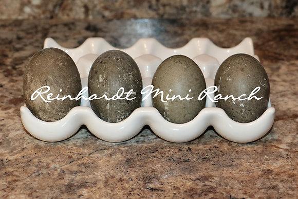 Cayuga Duck Hatching Eggs