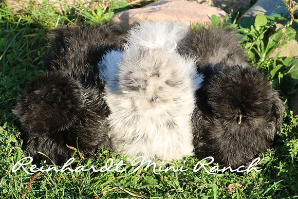 Silkie Variety Dozen Hatching Eggs