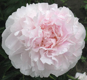 peony my love Hollingsworth