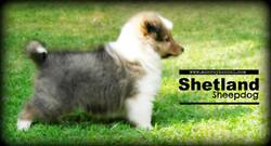 Pastor de Shetland