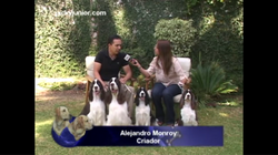 Springer Spaniel entrevista Alex