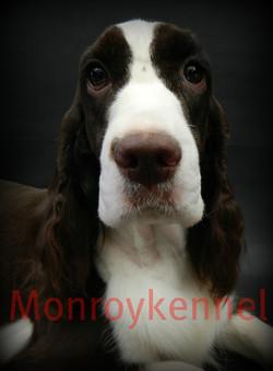 Springer Spaniel Monroykennel