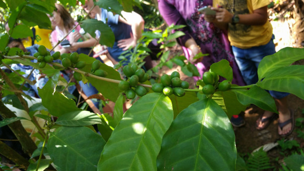 COFFEE! :) This is the coffee arabica plant.