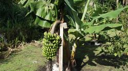 Garden Banana Tree