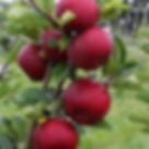 Rode appels.jpg