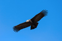 Condor flying on the blue sky background