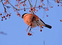 Bullfinch bird and berries on blue sky b