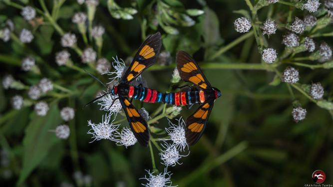 Euchromia polymena.jpg