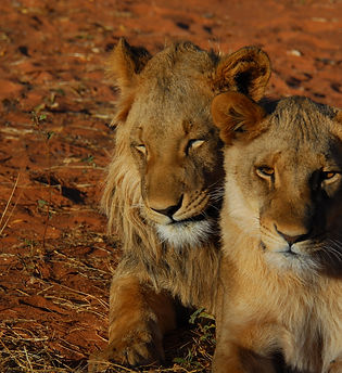 south africa lions.jpg