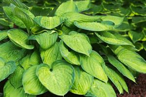 Hostas are a very rugged perennial plant for every garden.