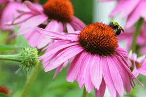 Coneflower (Echinacea) is very easy to care for and thrives in almost any environment.