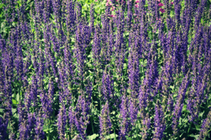 Easy to care for salvia plant.