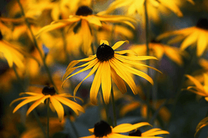 Black-eyed Susans are an easy to care for perennial plant.