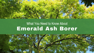What you need to know about Emerald Ash Borer in Ohio