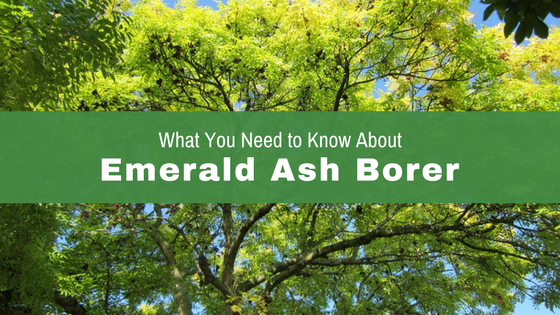 What you need to know about Emerald Ash Borer in Dayton Ohio.