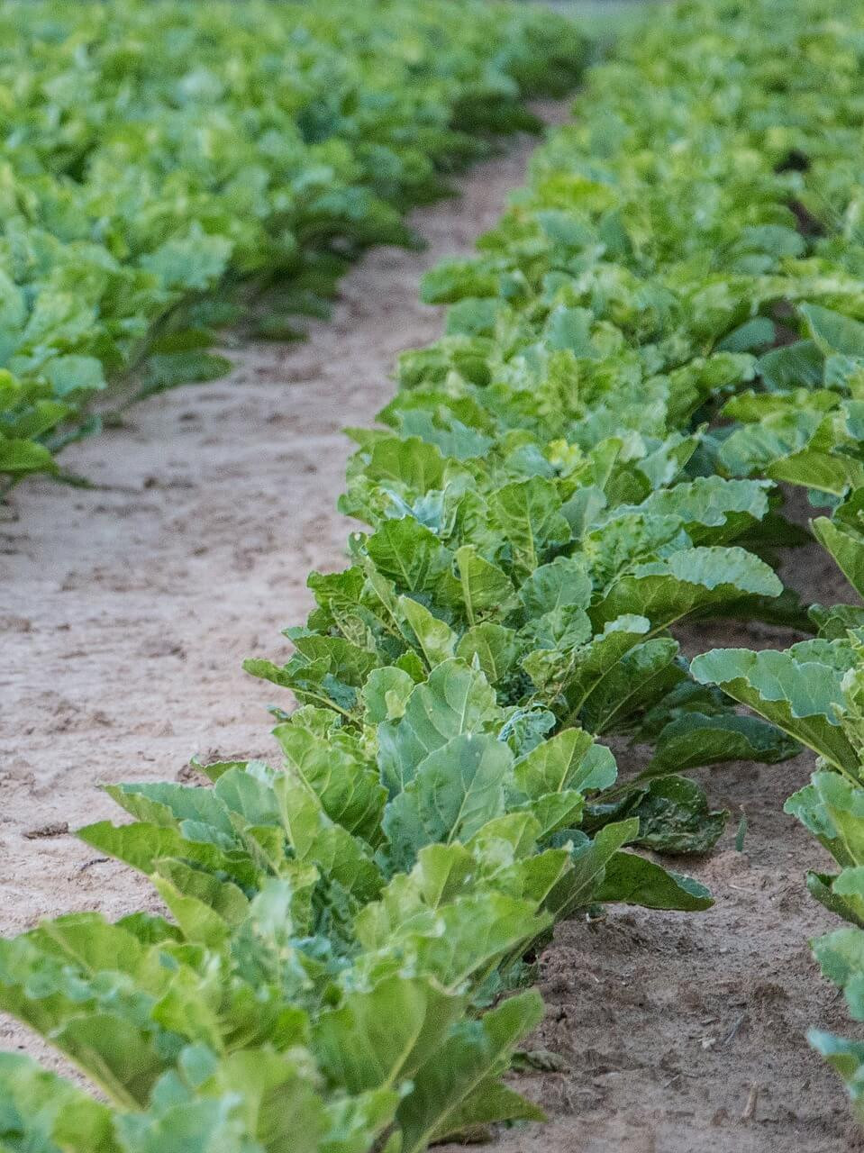 Plant cool season veggies in early fall for a second vegetable harvest.
