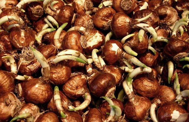 Spring bulbs should be planted in the fall in Dayton Ohio.