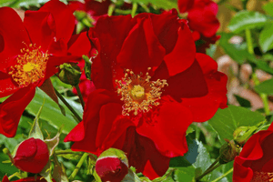 Groundcover roses are beautiful and easy to care for.