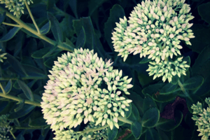 Sedum is an easy to care for plant that works in a variety of areas in the garden.