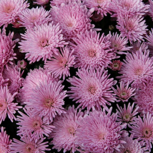 Plant chrysanthemums in the fall to add color and interest.