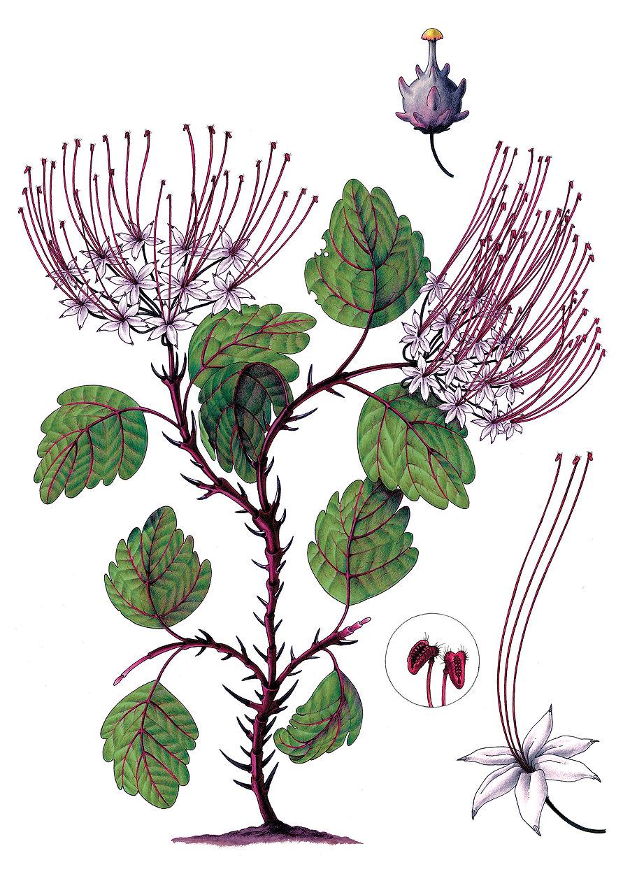 Cornus sanguinea rubra .jpg