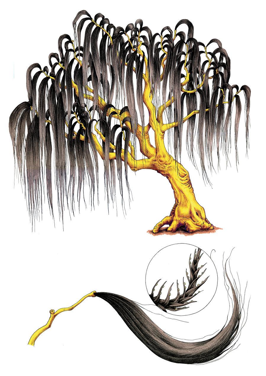 Salix nigra mater .jpg