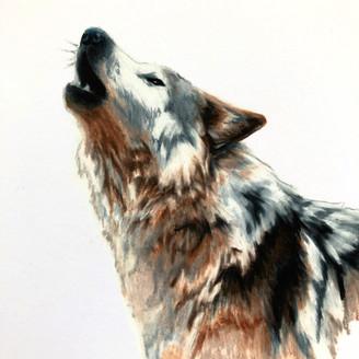 Wolf (study)