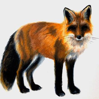 Red Fox (study)