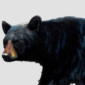 Black Bear (study)