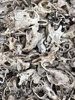 Small mammal skulls.jfif