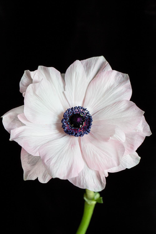 white anemone close up