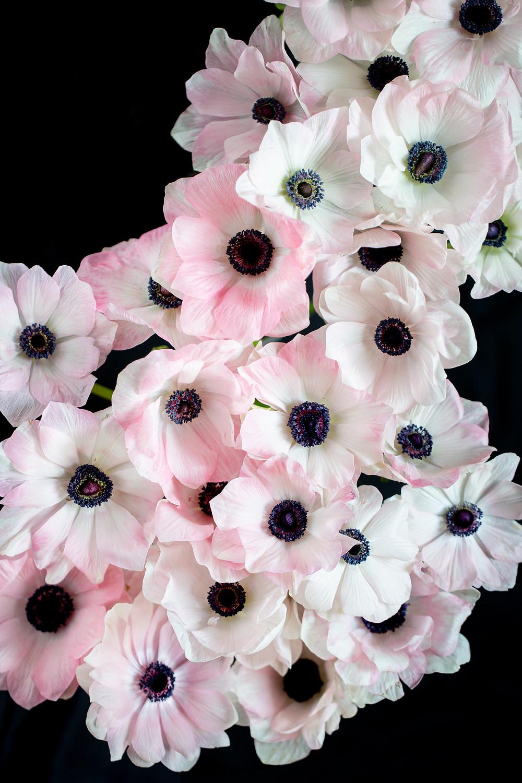 blush anemone photo