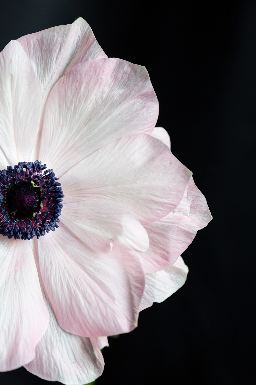 macro photograph of a white anemone
