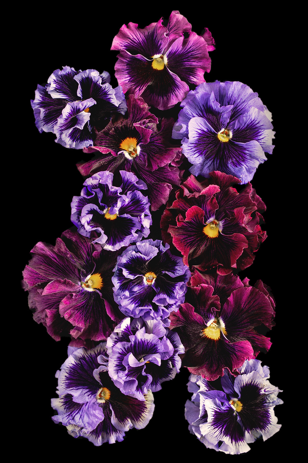 floral photography with ruffled pansies