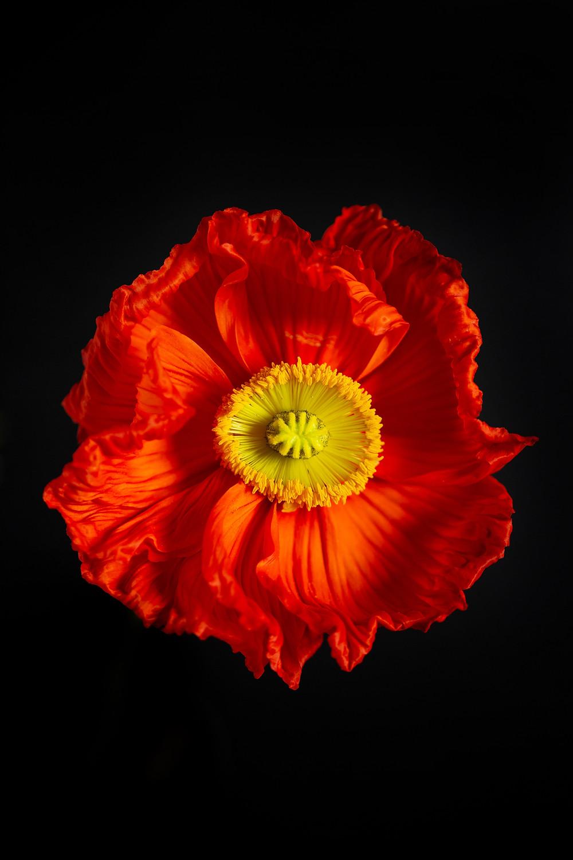 red poppy flower, flower photography macro
