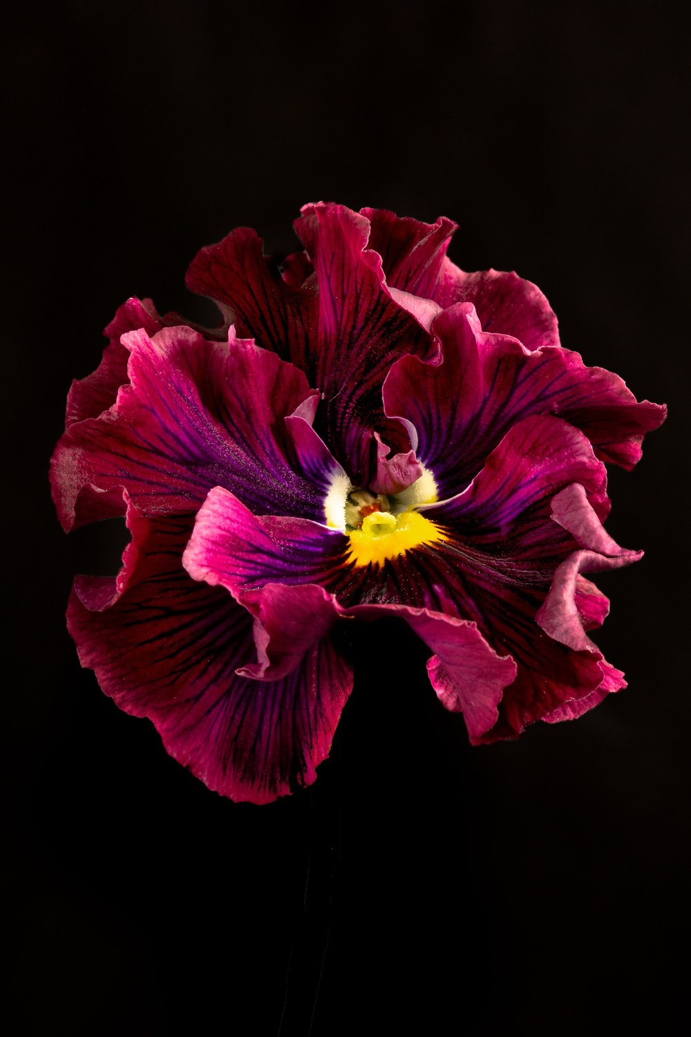 ruffled pansies