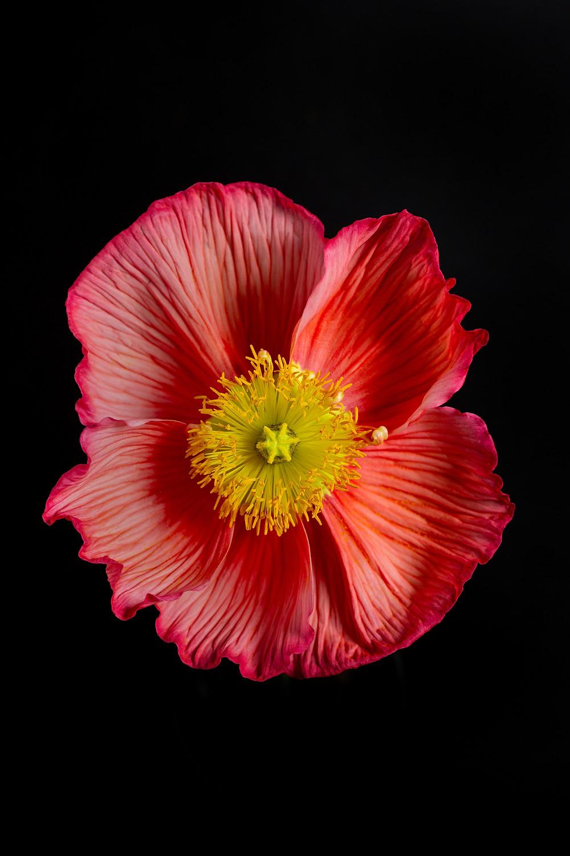 hot pink poppy flower