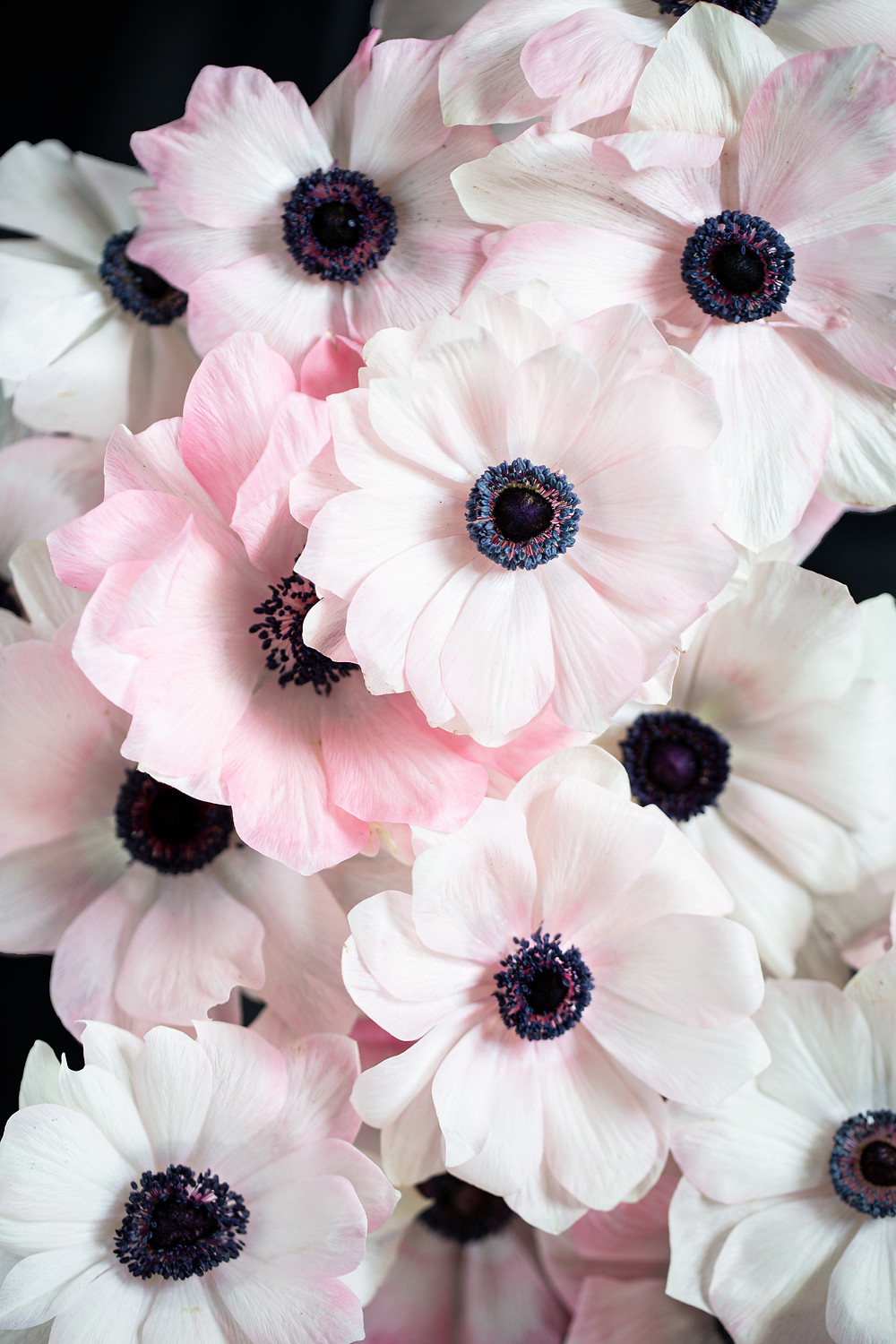 white and pink anemones