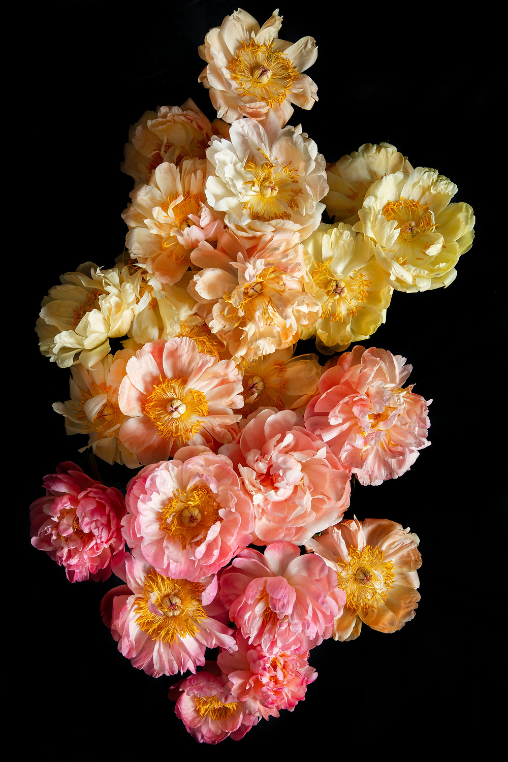 peonies in various shades, flower photography