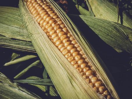 El maíz un debate nacional