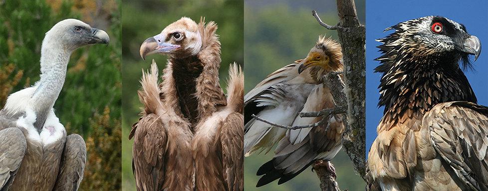 vautours en baronnies