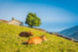 Brañaseca_vacas.jpg