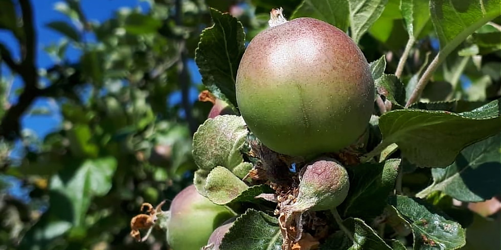 Orchard conservation: winter pruning