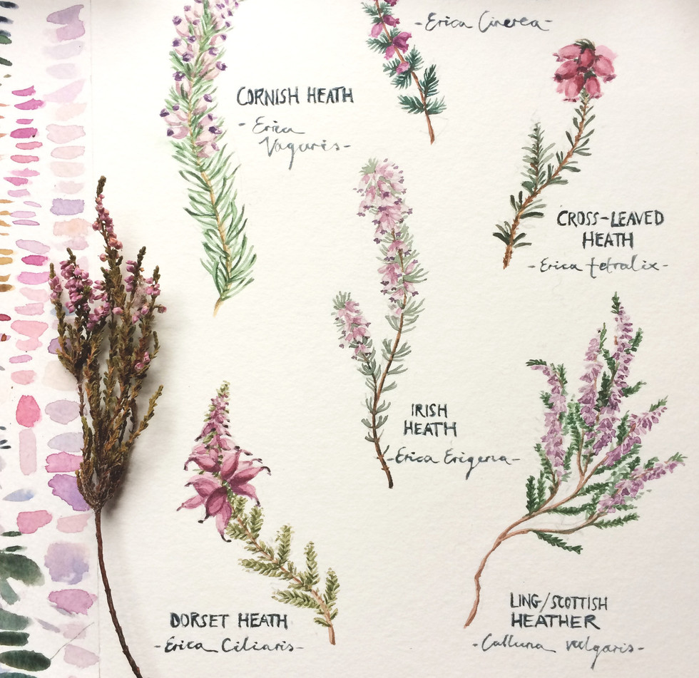 Botanical Illustration watercolour
