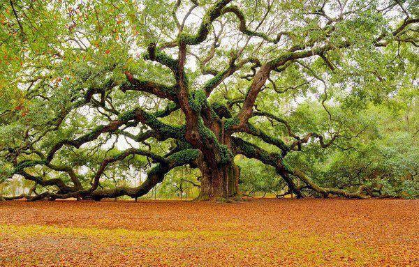 1,400 year old tree SC.jpg